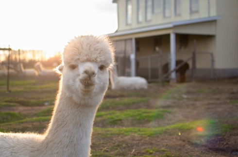 Purlin J & Alpacas 389
